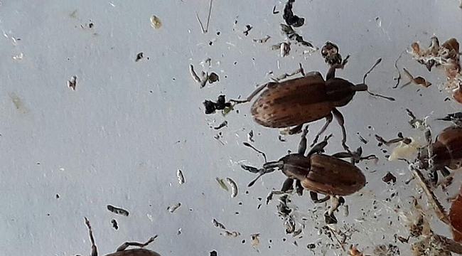 Yonca Hortumlu Böceği ile Mücadele Aralıksız Devam Ediyor