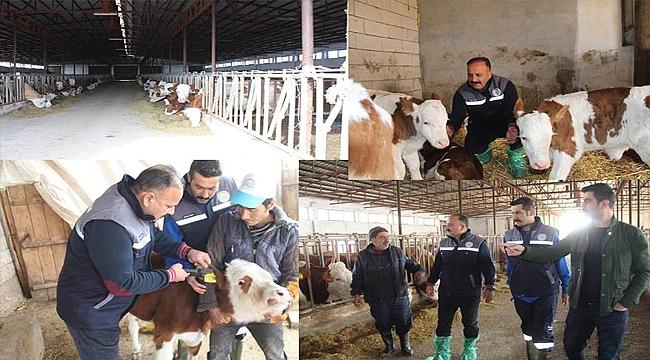 İl Müdürü Özkan Yolcu Aşılama ve Küpeleme Çalışmalarına Katıldı