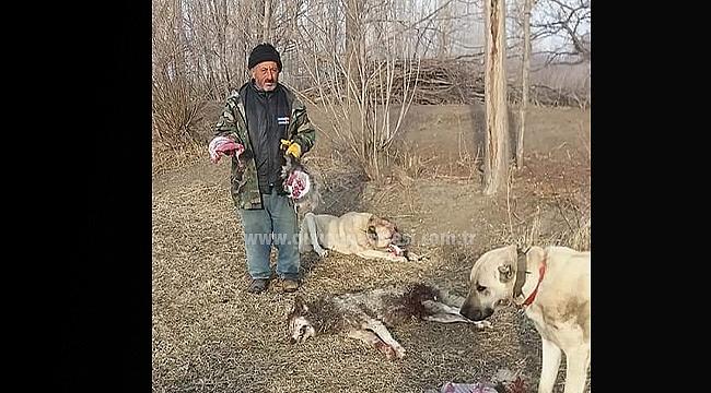 Bir Gün Önce Köpek Yiyen Kurt Kangal Köpeğine Tosladı