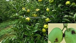 Elma İçkurtlarıyla Mücadele Başladı